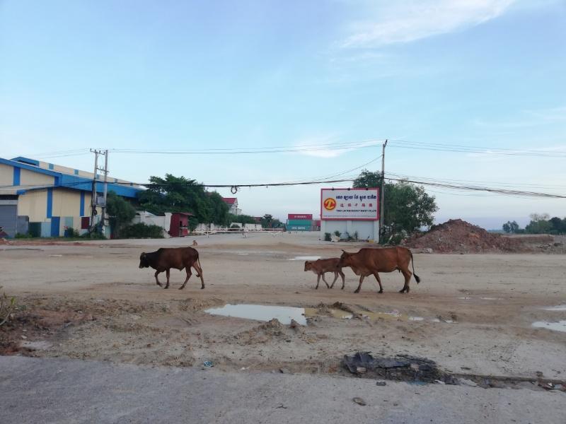 カンボジア牛